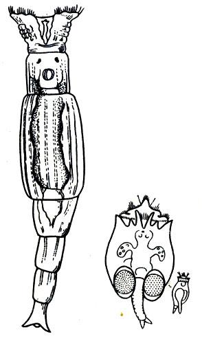 состав планктона толстолобик