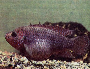 лечение плавниковой гнили бициллином-5 Рыбка петушок: болезни, их признаки и лечение